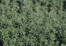 How to Grow Alfalfa to Fix Nitrogen in Backyard Gardens