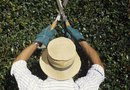 How to Trim Vining Lantana