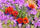 Fertilizer Needed to Grow Gazanias