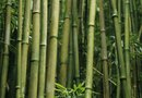The Destructive Effect of Bamboo on Buildings