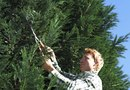 When & How to Prune & Fertilize Leyland Cypress Trees