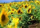 How to Prune Low Down Dwarf Sunflowers