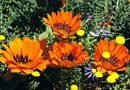 Do Gazania Reseed Themselves?