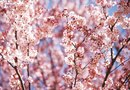 Types of Cherry Blossom Trees