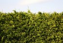 How to Plant a Conifer Hedge