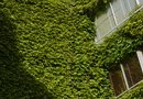Fast-Growing Ivy for Climbing a Brick Wall