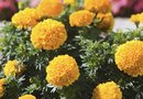 Harvesting & Drying Sweet Marigolds