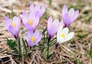 When Does Crocus Bloom?