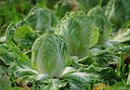 How to Know When Romaine Lettuce Is Ready to Pick?