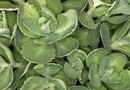 Low-Growing Evergreen Ground Covers