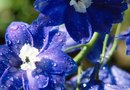 How to Prune Delphinium