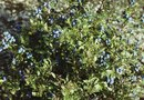 What Is a Good Ground Cover around Blueberry Bushes?