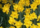 How to Plant Daffodils in January