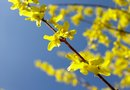 How to Start a Forsythia Bush