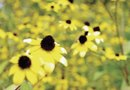 Rudbeckia and Pests