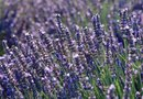 How to Remove Lavender from Stalks