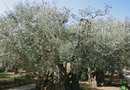 How to Plant an Olive Tree Grove