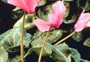 How to Care for a Cyclamen Flower