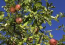 How to Grow Apples of Different Varieties Together
