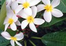 What Are Named Varieties of Plumeria?