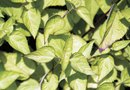 How to Plant Camphor Basil