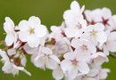 Flowering Cherry Hedge Plants