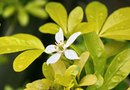 How to Keep a Mock Orange Tree Blooming