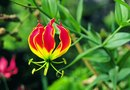 How to Plant a Gloriosa Lily