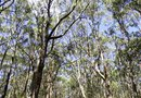 Is a Eucalyptus Tree the Same As a Gum Tree?