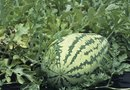 How to Grow Climbing Watermelons