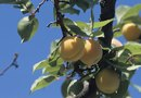 How to Manually Pollinate Apricot Trees