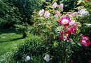 How to Plant the Knock Out Rose in the Fall