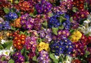 Why Do Primroses Wilt?