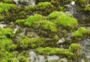 How to Plant a Scotch Moss Lawn
