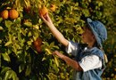 Fertilizing Cycles for Citrus Trees