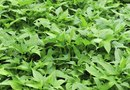 Organic Fertilizer to Grow Sweet Potato