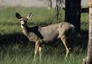 What Plants & Herbs Deter Deer in a Vegetable Garden