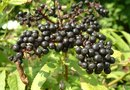 How to Raise Elderberry Seeds