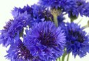 What Is the Difference Between a Cornflower & a Bachelor's Button?