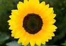 How to Help a Potted Sunflower That Is Dying