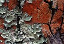 How Long Do Lichens Live?
