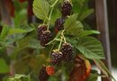 Horse Manure as Fertilizer for Blackberries and Vines