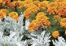 How and When to Prune an Overgrown Dusty Miller