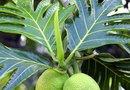 How to Trim Mexican Breadfruit Plants