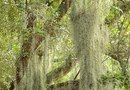How to Landscape With Spanish Moss