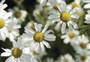 How to Grow Roman Chamomile