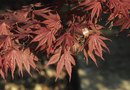How Far Apart to Plant Autumn Blaze Maple Trees