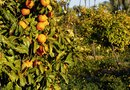 How to Plant Citrus Trees in Zigzag Formations