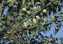 Almond Trees & Bug Bore Spray
