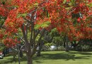 How to Care for a Royal Poinciana Tree